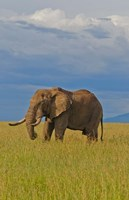 Kenya, Maasai Mara National Park, Male elephant by Bill Bachmann - various sizes - $37.49