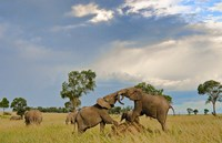 Kenya, Maasai Mara National Park, Young elephants by Bill Bachmann - various sizes