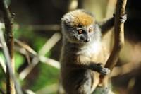 Madagascar, Andasibe, Ile Aux Lemuriens, baby Golden Bamboo Lemur. Fine Art Print