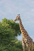 Masai Giraffe, Botswana Fine Art Print
