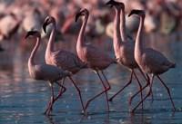 Lesser Flamingoes, Lake Nakuru National Park, Kenya Fine Art Print