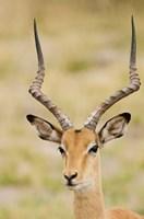 Male Impala, Botswana Fine Art Print
