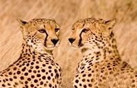 Kenya, Masai Mara National Reserve. Two cheetahs by Jaynes Gallery - various sizes