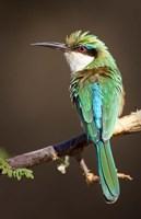 Kenya, Samburu NR, Somali bee-eater, tropical bird by Jaynes Gallery - various sizes