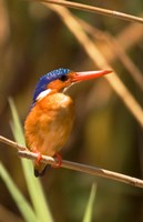 Malawi, Liwonde NP, Malachite kingfisher bird on branch Fine Art Print