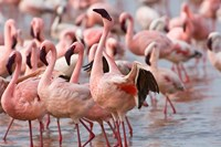 Kenya, Lake Nakuru, Flamingo tropical birds by Jaynes Gallery - various sizes - $40.99