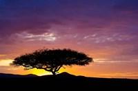 Kenya, Masai Mara. Sunrise silhouette, acacia tree Fine Art Print