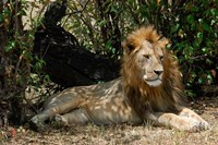 Kenya, Masai Mara Game Reserve, lion in bushes Fine Art Print