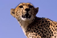 Kenya, Masai Mara National Reserve. Female Cheetah Fine Art Print