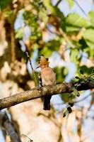 Indian Ocean, Madagascar. Hoopoe bird on tree limb. by Jaynes Gallery - various sizes