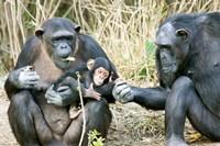 Kenya, Chimpanzees at Sweetwaters Tented Camp by Jaynes Gallery - various sizes