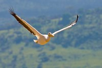 Kenya. White Pelican in flight at Lake Nakuru. Fine Art Print