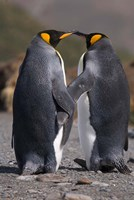 King penguins, mating ritual Fine Art Print