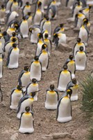 King penguins, Salisbury Plain Fine Art Print