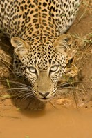 Leopard at waterhole in Masai Mara GR, Kenya Fine Art Print
