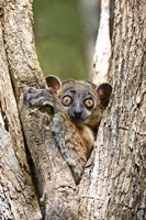 Madagascar, White-footed sportive lemur primate by Jaynes Gallery - various sizes