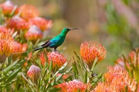 Malachite Sunbird, Cape Province, South Africa Fine Art Print