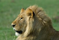 Kenya, Masai Mara Game Reserve, Lion by Alison Jones - various sizes - $40.99