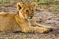 Lion Cub Laying in the Bush, Maasai Mara, Kenya Fine Art Print