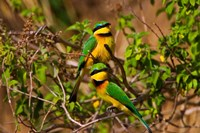 Little Bee-eater tropical bird, Maasai Mara, Kenya Fine Art Print