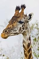 Maasai Giraffe Feeding, Maasai Mara, Kenya Fine Art Print