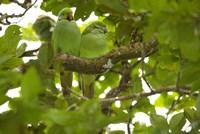 Mauritius, Black River Gorges, Parakeet tropical bird Fine Art Print