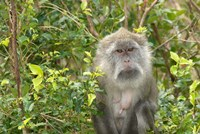 Mauritius, Grand Bassin, Macaque monkey, Hindu site Fine Art Print