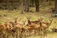 Mauritius, Java deer wildlife Fine Art Print