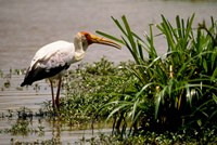 Kenya. Masai Mara, Yellowbilled stork bird Fine Art Print