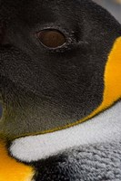 King Penguin, Right Whale Bay, South Georgia Island, Antarctica by Paul Souders - various sizes