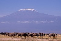 Kenya: Amboseli NP, wildebeest wildlife, Mt Kilimanjaro Fine Art Print