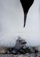King Penguin Chick Resting in Mother's Brood Pouch, Right Whale Bay, South Georgia Island, Antarctica by Paul Souders - various sizes