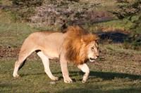 Lion, Panthera leo, Maasai Mara, Kenya. Fine Art Print