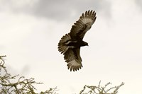 Long Crested Eagle, Meru National Park, Kenya Fine Art Print