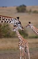 Maasai Giraffe, Masai Mara, Kenya Fine Art Print