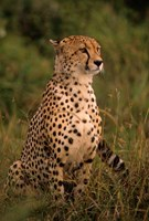 Kenya: Masai Mara, head of mating cheetah Fine Art Print