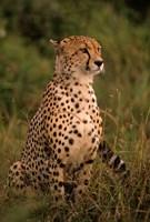 Kenya: Masai Mara, head of mating cheetah by Alison Jones - various sizes