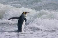 King Penguin Salisbury Plain South Georgia