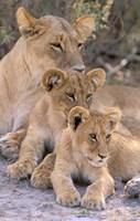 Lioness and Cubs, Okavango Delta, Botswana Fine Art Print