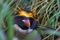 Macaroni Penguin in the grass, Cooper Baby, South Georgia, Antarctica by Keren Su - various sizes, FulcrumGallery.com brand