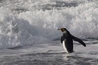 King Penguin in the surf, Antarctica Fine Art Print
