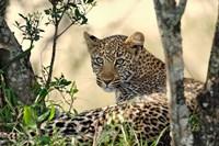 Leopard resting beneath tree, Maasai Mara, Kenya Fine Art Print