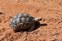 Leopard Tortoise, Samburu National Game Reserve, Kenya by Adam Jones - various sizes