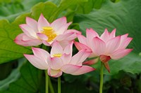 Lotus flower, Nelumbo nucifera, China Fine Art Print