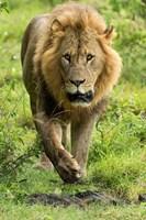 Male Lion, Lake Nakuru National Park, Kenya by Adam Jones - various sizes, FulcrumGallery.com brand