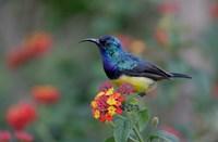 Kenya, Lake Naivasha. Variable sunbird male by Jaynes Gallery - various sizes
