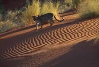 Leopard on sand dunes, Namib-Naukluft Park, Namibia Fine Art Print