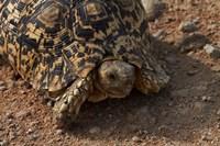 Leopard tortoise, Stigmochelys pardalis, Etosha NP, Namibia, Africa. by David Wall - various sizes
