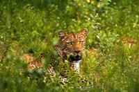 Leopards Kruger National Park South Africa