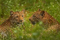 Leopards, Kruger National Park, South Africa by David Wall - various sizes